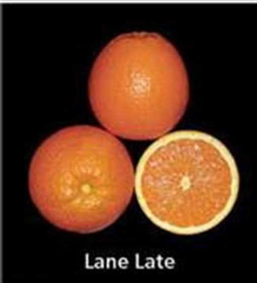 Lane Late navel orange